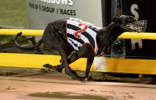 Group 1 stars draw well in Silver Chief semi finals